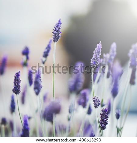 beautiful purple wild meadow lavender flowers on natural soft sunlight background in morning field. Outdoor spring photo - stock photo