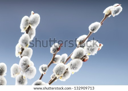 Beautiful pussy willow flowers branches - stock photo