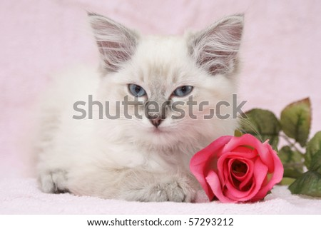 beautiful ragdoll kitten - stock photo