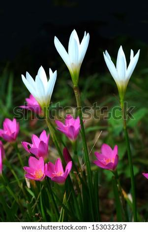 Beautiful rain lily flower. (Zephyranthas sp.) - stock photo