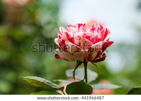 Beautiful red and white rose with blur nature background, beautiful rose in garden  - stock photo