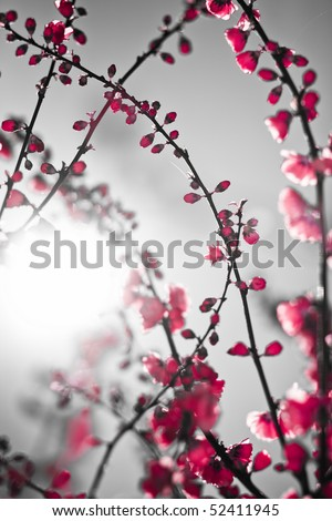 Beautiful red branch blossom background with sun. Asian theme image. Low aperture shot, selective focus - stock photo