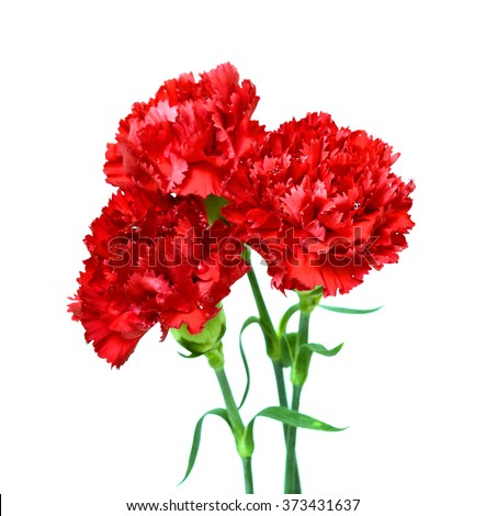 beautiful red carnation flowers isolated on white background - stock photo