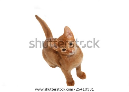 Beautiful red cat isolated on a white background - stock photo