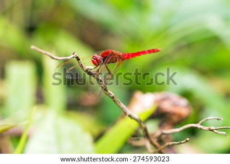 Beautiful red dragonfly (pres. the Scarlet dragonfly, Crocothemis erythraea) in Masoala national park, Madagascar - stock photo