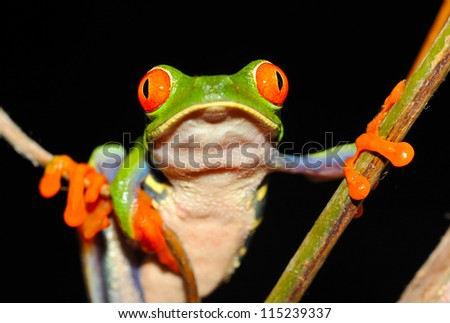 beautiful red eyed green tree or gaudy leaf frog hanging between vines on tree, lake arenal, costa rica, latin america. exotic amphibian full frame macro close up rainforest treefrog tropical jungle - stock photo