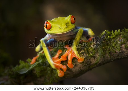 Beautiful red-eyed tree frog (Agalychnis callidryas)  from Costa Rica. - stock photo