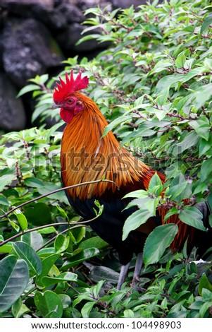 Beautiful Red Feral Wild Rooster Kauai Hawaii - stock photo