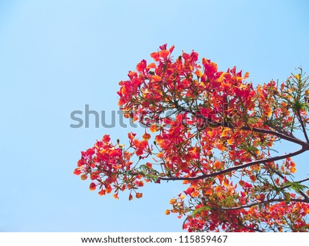 Beautiful red flowers of Royal Poinciana or Flamboyant (Delonix regia) - stock photo