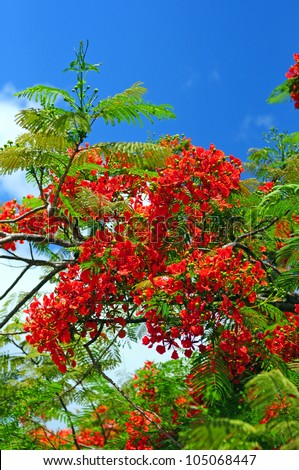 Beautiful red flowers on a blooming Poinciana tree in Florida - stock photo