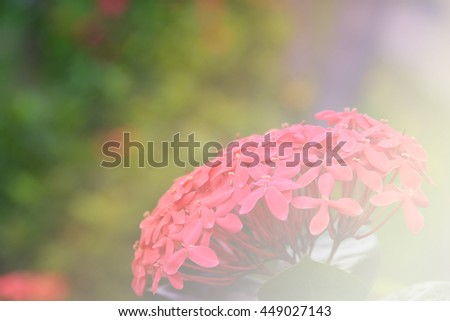Beautiful red flowers with Soft Focus Color Filtered background, Red flower spike, Rubiaceae flower - stock photo