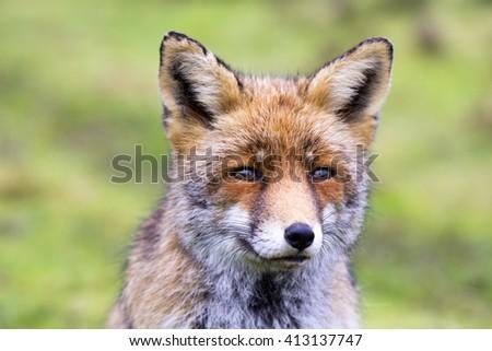 Beautiful Red Fox Close Up - stock photo