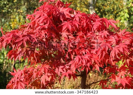 Beautiful red leaves of an Acer Tree as they change color in the Autumn. - stock photo