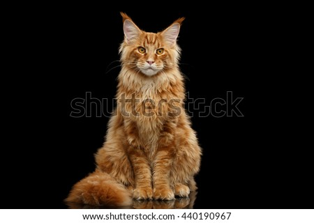 Beautiful Red Maine Coon Cat Sitting with Large Ears and Furry Tail Looking in Camera Isolated on Black Background, Front view - stock photo