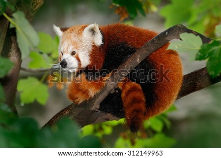 Beautiful Red panda lying on the tree with green leaves, in the nature habitat - stock photo