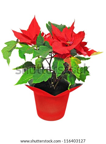 Beautiful red poinsettia isolated on white background; Christmas flower - stock photo