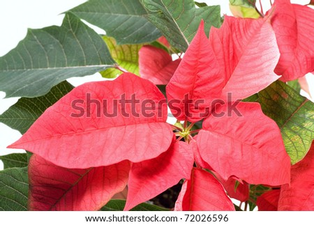 Beautiful red poinsettia  isolated on white. That red plant - symbol of Christmas. - stock photo