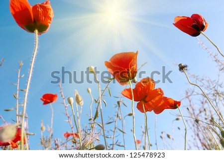 Beautiful red poppies on the blue sunny sky background - stock photo