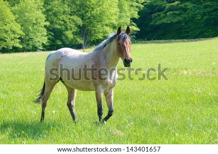 Beautiful red roan mare walking in green pasture - stock photo