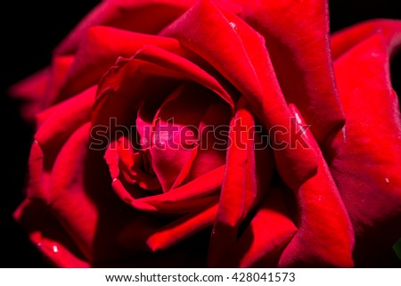 beautiful red rose as a background. macro - stock photo
