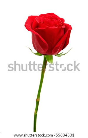 Beautiful red rose close-up - stock photo