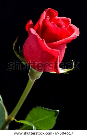 Beautiful red rose flower, great gift for Valentine's day, isolated - stock photo