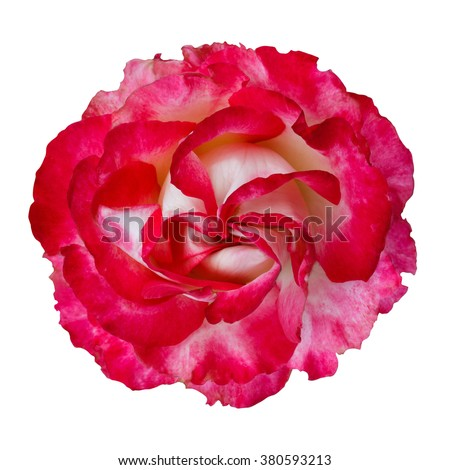 beautiful red rose flower isolated on white background - stock photo