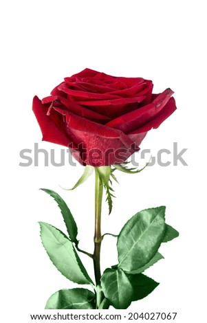 Beautiful red rose isolated over white - stock photo