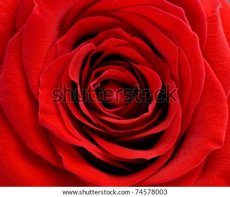 beautiful red rose of close up - stock photo