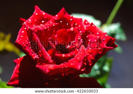 Beautiful red rose with dewdrops - stock photo