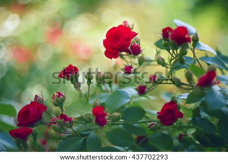 beautiful red roses in the garden. Natural background is a summer garden. artistic blur many small roses buds. Lush red fresh flowers in the foreground  - stock photo