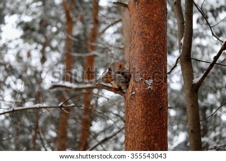 Beautiful red squirrel sitting on a pine tree - stock photo
