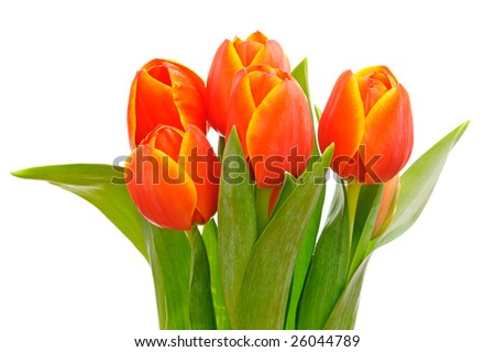 Beautiful red tulip flowers with green leaves isolated on white background - stock photo