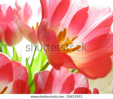 Beautiful red tulips close-up - stock photo