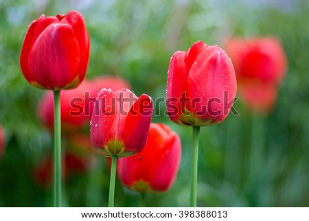 Beautiful red Tulips Flowers with Waterdrops  in the garden. Holiday border on natural green background/Fresh Spring tulips flowers with water drops in the garden - stock photo