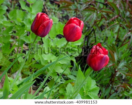 Beautiful red tulips in the garden/Red spring flowers/Three red blooming tulips in the bed-flower - stock photo