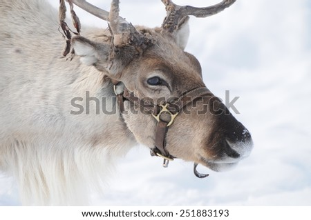 Beautiful reindeer found in the alps during Christmas time. - stock photo
