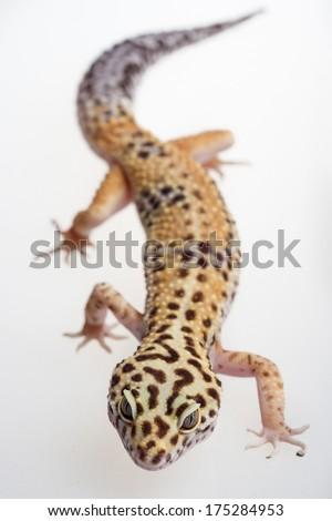 Beautiful reptile leopard gecko in macro studio - stock photo