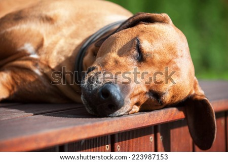 Beautiful Rhodesian Ridgeback dog is sleeping outside in the sun. The cute dog is lying down and snoozing with closed eyes. - stock photo