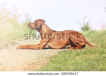 Beautiful Rhodesian Ridgeback dog puppy lying on a dirt road and waits upset - stock photo