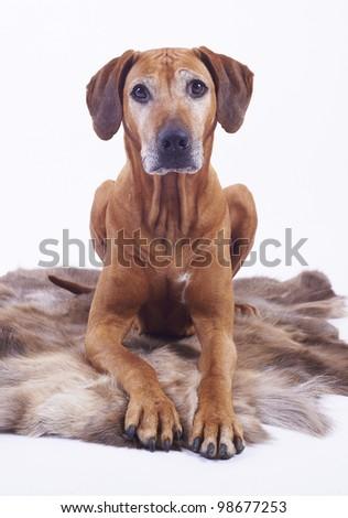 beautiful Rhodesian Ridgeback female hound dog, 8 years old, isolated on white background - stock photo