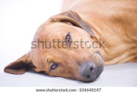 beautiful Rhodesian Ridgeback hound dog in studio, lying down and sleeping, 4 years old male - stock photo