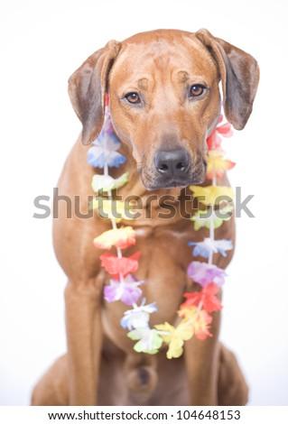 beautiful Rhodesian Ridgeback hound dog in studio, wearing a hawaiian lei, 4 years old male - stock photo
