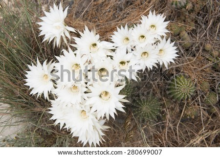 Beautiful rhodolia rosea cactus with white blossoms blooming flowers - stock photo