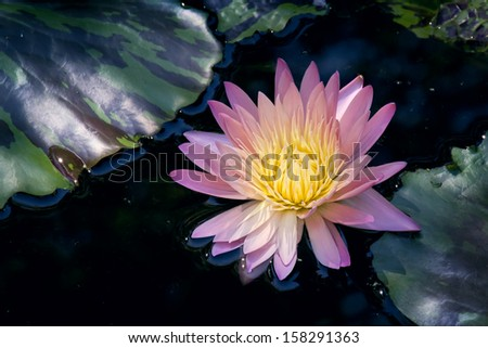 Beautiful rich colors of a waterlily on the water's surface. This beautiful Water Lily was photographed in the shade of a large Weeping Willow tree on a calm day with very soft light. - stock photo