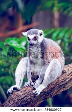 Beautiful ring-tailed lemur, lemur catta sitting on a log - stock photo