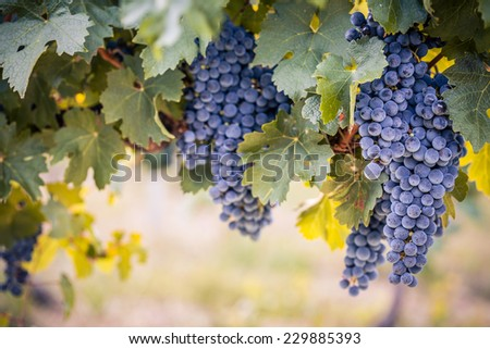 Beautiful ripe bunches of wine grapes on vine - stock photo