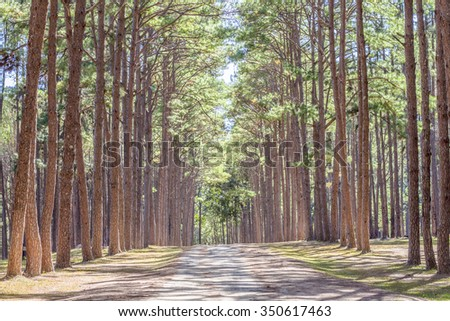 Beautiful road between  Pine trees in sunny day with nice light and shading - stock photo
