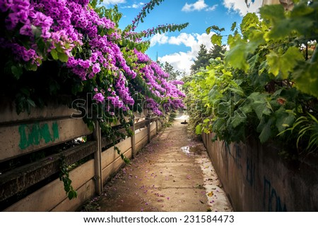 Beautiful road grown with bushes and Bougainvillea - stock photo