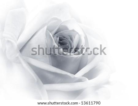 Beautiful rose black&white - stock photo